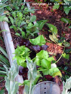 Salad Garden in a Chicken Feeder