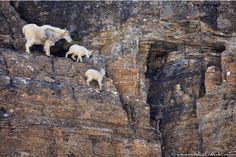 Goats in precarious positions OR Goats doing awesome goat things