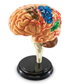 Look what I found on #zulily! Brain Model Set by Learning Resources #zulilyfinds