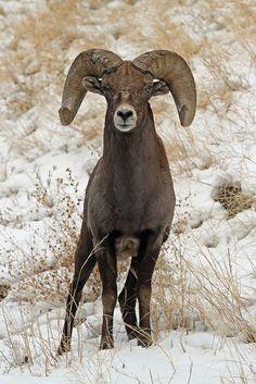 ˚Bighorn Sheep Ram Wild Creatures, Woodland Creatures, Ram Pic, Mountain Man, Mountain Goats, Big Horn Sheep, Trophy Hunting, Mule Deer, Watercolor Animals