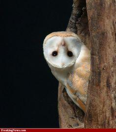 Inquisitive owl.