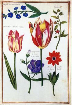 Tulips from Les Velins du Roi by Nicholas Robert (1614-1685)