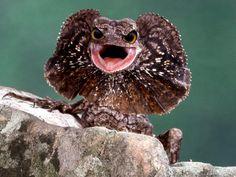 Big eyed frilled lizard.