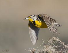 meadowlark   Western Meadowlark take-off