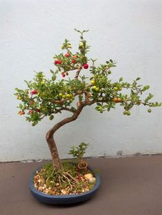 How For Making Your Landscape Search Excellent Bonsai Fruit Tree, Mini Bonsai, Bonsai Art, Bonsai Plants, Bonsai Garden, Fruit Trees, Plantas Bonsai, Ikebana, Bushes And Shrubs