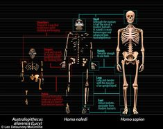 Named Homo naledi, the species has been assigned to the genus Homo, to which modern humans also belong. The remains were discovered in South Africa's Gauteng province. Early Humans, First Humans, Human Evolution Tree, Human Family Tree, University Of The Witwatersrand, Brain Size, Theory Of Evolution, Biology Lessons, Forensic Anthropology