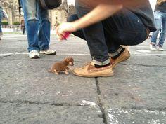 Perrito chihuahua color café muy pequeño, junto a su dueño