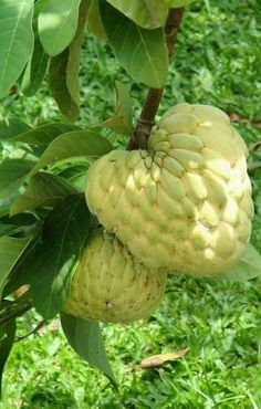Sugar-apple or sweetsop or CUSTARD APPLE a large, fleshy, tropical fruit with a sweet yellow pulp. the tree that bears the custard apple, native to Central and South America. Fruit Plants, Fruit Garden, Fruit Trees, Fruit And Veg, Fruits And Vegetables, Dried Fruit, Fresh Fruit, Tomato Nutrition, Coconut Health Benefits