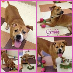 Love her! #adoptable at #Joliet township animal control on Facebook #dogs #cresthill #Valentine.#pitbull