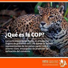 Qué es la COP?  La Conferencia de las Partes es el máximo órgano del CDB donde se reúnen representantes de los países parte (196) y actores clave encargados de promover la aplicación del convenio.  Este 4 de Diciembre inicia la #COP13MX.