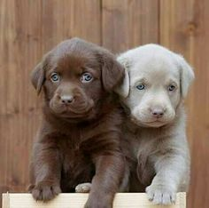 These Labrador Retriever puppies are just the cutest! Those blue eyes are stunning! These Labrador Retriever puppies are just the cutest! Those blue eyes are stunning! Cute Baby Animals, Animals And Pets, Funny Animals, Beautiful Dogs, Animals Beautiful, Cute Puppies, Cute Dogs, Corgi Puppies, Cute Animals Puppies