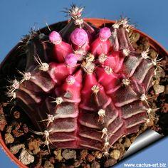 Gymnocalycium mihanovichii Variegata Black Purple Form Cactus Plant Astrophytum - Google'da Ara