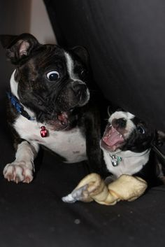 Boston Terriers, Playing?