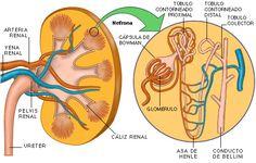 En realidad, es la nefrona quien forma la orina, no el riñón en sí. Este está formado por miles de ellas, por lo que las nefronas son la unidad fisiológica del riñón. En esta foto se pueden diferenciar sus diferentes partes.