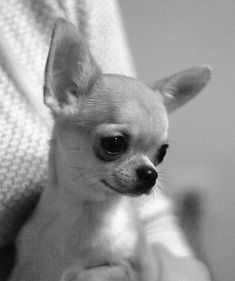 Chihuahua ∞∞∞∞∞∞∞∞∞∞∞∞∞∞∞∞∞∞∞∞∞∞∞∞∞∞∞∞ Puppy ∞∞∞∞∞∞∞∞∞∞∞∞∞∞∞∞∞∞∞∞∞∞∞∞∞∞∞∞ Black and White ∞∞∞∞∞∞∞∞∞∞∞∞∞∞∞∞∞∞∞∞∞∞∞∞∞∞∞∞ #Chihuahua