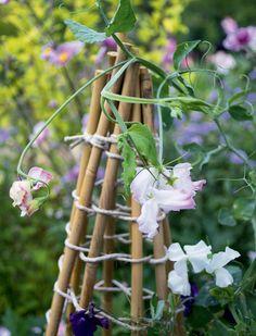 Tee tukikeppejä paksuista, yhteen-sidotuista oksista tai bambukepeistä. Voit istuttaa hajuherneen kasvamaan myös pitkin kaidetta tai aitaa. Älä käytä tukena tuoretta pajua, sillä paju alkaa kasvaa ja anastaa tilan hajuherneeltä.