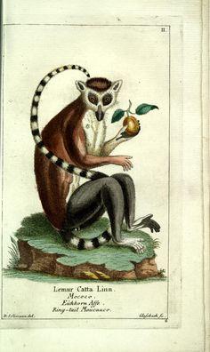 Ringtail Lemur. Gemeinnüzzige Naturgeschichte des Thierreichs Bd 1 plates  Berlin ;bei Gottlieb August Lange,1780-1789.  Biodiversitylibrary. Biodivlibrary. BHL. Biodiversity Heritage Library
