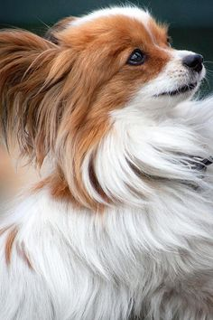 Tiny Papillon Puppy Dog>   IN MOTION.....................