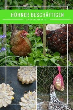 Wie kann ich meine Hühner beschäftigen? Beschäftigungsideen und Tipps in der Hühnerhaltung: Futterball, Futternetz, Körnersuche, Hühnerknödel, Spagettibaum ...