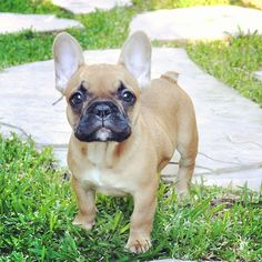 French Bulldog Puppies for Sale If you are looking for a healthy, happy well-adjusted French bulldog you have come to the right place. Because we are small we offer high quality care for your new French bulldog puppy.