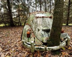 A tree grows through the bumper of a 46-year-old Volkswagen Beetle in Otto Weymann's garden in Fuldatal, Germany