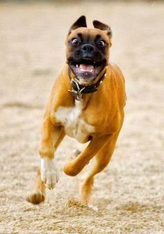 Lots of fun starts with a Follow! I will follow you... so start #running #dog #boxer
