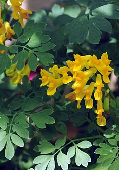 Yellow Corydalis - great addition for any shade garden
