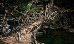 Deep in the forests of the Indian state of Meghalaya, bridges are not built, they're grown. For more than 500 years locals have guided roots and vines from the native Ficus elastica across rivers, using hollowed out trees to create root guidanc systems. When the rooots and vines reach the opposite bank they are allowed to take root. Some of the bridges are 100 feet long and can support the weight of 50 people.