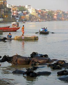Buffalos_Ganga river - Varanasi, Uttar Pradesh