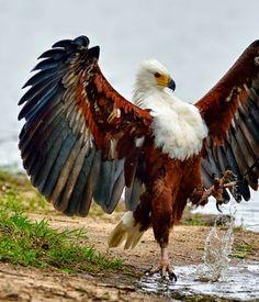 Vulturul ... lacustru
