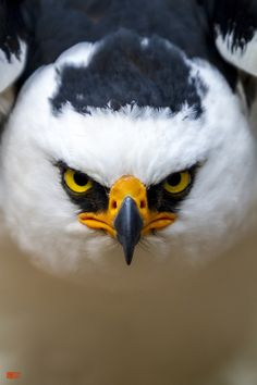 BLACK AND WHITE HAWK-EAGLE by Daniel Fox