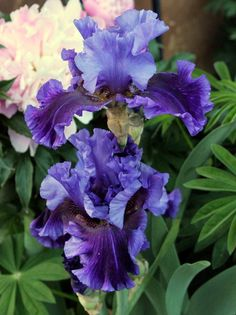 World of Irises: TALL BEARDED IRIS--FIRST-YEAR BLOOMS, 2014-- 'Evening Tidings'