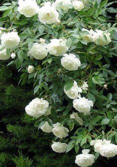 Lovely iceberg roses!