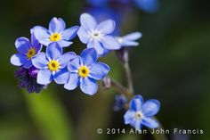 Forget Me Nots 91/365