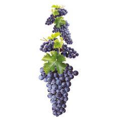 Winorośl szczepiona - Vitis vinifera 'Merlot'