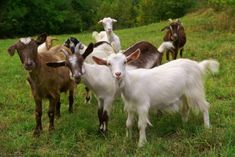 Why Dairy Goats Are Cheaper And More Practical Than Dairy Cows