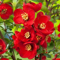 Crimson and Gold Chaenomeles x superba Flowering Quince - Pot Chaenomeles, Magnolia Stellata, Virtual Flowers, Spring Blossom, Flowers Perennials, Dobby, Clematis, Colorful Flowers, Shrubs