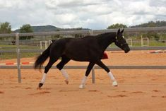 $4500 - Soho D is a stunning black mare in-foal to Belissimo M. Soho has 3 clear expressive paces, with a large overtrack in walk, well balanced trot with goo
