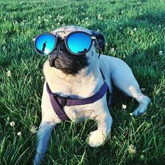 How adorable! (the pug too but we're looking at the sunglasses). #Zerouv make us smile every day and are on popmap!  https://popmap.com/page/shop/220/zerouv
