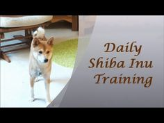 Daily Shiba Inu Training - with Milo and KKRae - YouTube