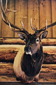 The Ranches at Belt Creek, Montana - Marla Meridith Hunt Club, Venison, Ranch Style, Antlers, Montana, Moose Art, Hunting, Creatures, Belt