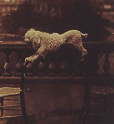 Dog balancing on two chairs, c.1861  Lady Clementina Hawarden, 1822 - 1855