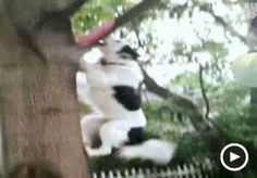 Image: Video still of a border collie climbing a tree (© Animal Planet)