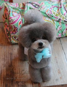 Teddy Bear Dog, Bear Dogs, Poodle Haircut, Dog Grooming Styles, Poodle Mix, Cute Baby Animals, Coco Chanel, Dogs And Puppies, Cute Babies