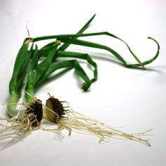 Picture of Grow Onions from Discarded Onion Bottoms