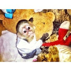 Justin Bieber's Monkey Mally ❤ liked on Polyvore