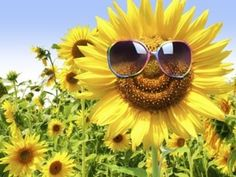 Big Pictures Sunflowers   size Illustration by Tony O. Champage / The Times-Picayune Sunflowers ...