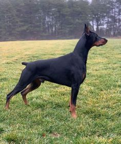 American Doberman, German Dogs, Christmas Movies, Double Tap, Posts, History, Link, Shop, Animals