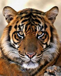 Pretty Animals, Big Animals, Majestic Animals, Cute Baby Animals, Animals And Pets, Big Cats, Cats And Kittens, Cute Cats, Beautiful Cats