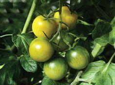 Cultivating seedlings. Vegetables, Vegetable Recipes, Veggies
